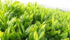 お茶の葉のイメージ画像